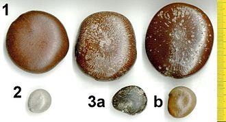 Drift seed - Drift seeds of three legume species found at Kanda on the southern Mozambique coast in May 2004: 1. Snuff box sea bean (Entada rheedii) 2. Grey nickernut (Caesalpinia bonduc) 3. a,b Colour forms of ox-eye beans (Mucuna gigantea)