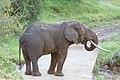 Drinking Elephant (2364828308).jpg