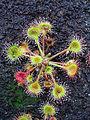 Drosera rotundifolia 002.JPG