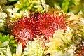 Drosera rotundifolia 4.jpg