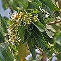 Duabanga sonneratioides syn Duabanga grandiflora flowers at Jayanti, Duars, West Bengal W Picture 217.jpg