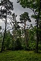 Dubrava Ščomyslickaja natural monument (Belarus) p25.jpg