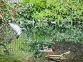 Duck repelling pigeon (9028976452).jpg