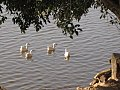 Ducks in Rawal lake.jpg