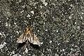 Dudusa nobilis (26012024420).jpg