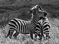 Duelling Zebras (227178191).jpeg