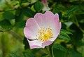 Duinroos (Rosa pimpinellifolia). Locatie. Nationaal Park Lauwersmeer 01.jpg