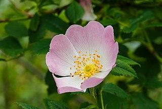 Duinroos (Rosa pimpinellifolia). Locatie. Nationaal Park Lauwersmeer 01