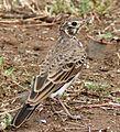 Dusky Lark (Pinarocorys nigricans) (6029254985) (cropped).jpg