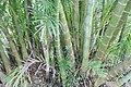 Dypsis lutescens 9zz.jpg