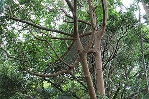 Dysoxylum mollissimum subsp. molle - Miva Mahogany at the Royal Botanic Gardens Sydney