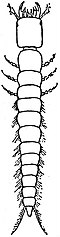 EB1911 Hexapoda - Campodeiform Larva of a Ground-Beetle.jpg