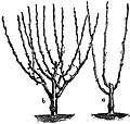 EB1911 Horticulture - Fig. 27.—Dwarf-Tree Pruning.jpg