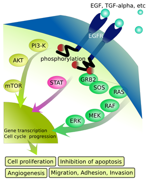 TGF alpha -  Epidermal growth factor receptor (EGFR) signaling pathway upon binding to TGF-α.