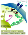 EGFR signaling pathway.png