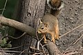 Eastern Fox Squirrel National Butterfly Center Mission TX 2018-02-28 15-32-38 (40620682002).jpg