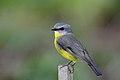 Eastern Yellow Robin (Eopsaltria australis) (42662459402).jpg
