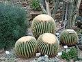 Echinocactus grusonii 2019-12-13 6514.jpg