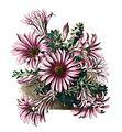 Echinocereus berlandieri pm.jpg