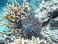 Echinopora horrida y Acanthaster planci.JPG