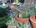 Echinopsis cactus 04.jpg