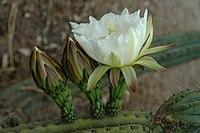 Echinopsis peruviana (1).jpg