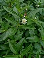 Eclipta prostrata (Asteraceae) 01.jpg
