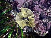 Nudibranch eggs in Moss Beach, California.