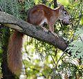 Eichhörnchen mit Walnuss.JPG