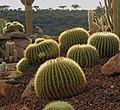 Ejemplares de Echinocactus grusonii en Desert City.jpg