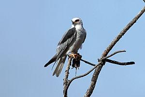 White-tailed kite - White-tailed kite with prey.