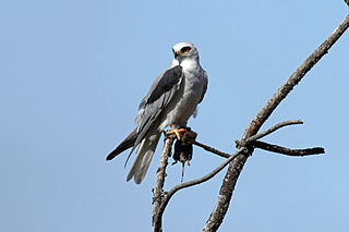 White-tailed kite Raptor native to the Americas