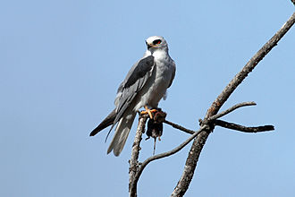 White-tailed kite - White-tailed kite with prey.