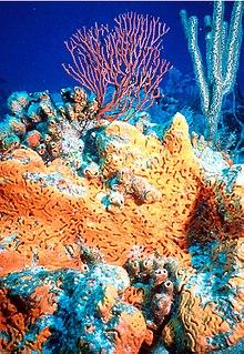 genus of sponges