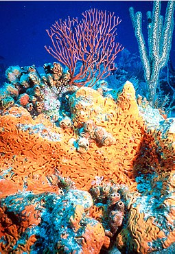 Non-bilaterians include sponges (centre) and corals (background). Elephant-ear-sponge.jpg