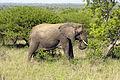 Elephant (Loxodonta Africana) 07.jpg