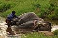 Elephant bath DSC 3058.jpg
