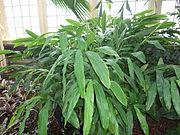 ElettariaCardamomum.jpg