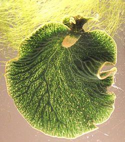Elysia chlorotica - Wikipedia, la enciclopedia libre
