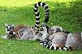 Em - Lemur catta - 20.jpg