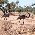 Emu Burke River floodplain Boulia Shire Queensland P1060868.jpg