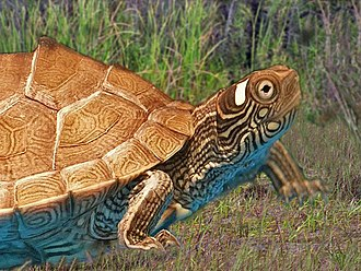 Ouachita map turtle - Image: Emydidae Graptemys ouachitensis