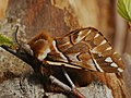 Endromis versicolora ♂ - Kentish glory (male) - Берёзовый шелкопряд (самец) (40149675374).jpg