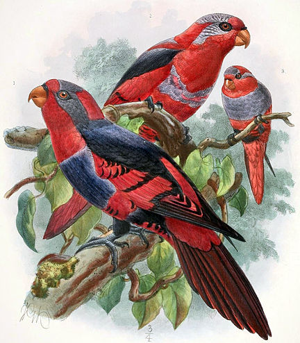 Scientific illustration of the extinct Red-and-blue Lory subspecies E. histrio histrio