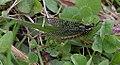 Ephemera-vulgata-05-fws.jpg