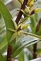 Epidendrum macrostachyum (Orchidaceae) (31107226997).jpg