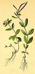 Epilobium anagalidifolium Atlas Alpenflora.jpg