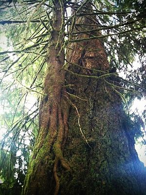 Hoh Rainforest - Young western hemlock growing as an epiphyte on an older tree in the Hoh Rainforest