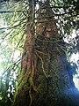 Epiphytic Tsuga heterophylla.jpg