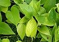 Epipremnum aureum Neon kz1.jpg